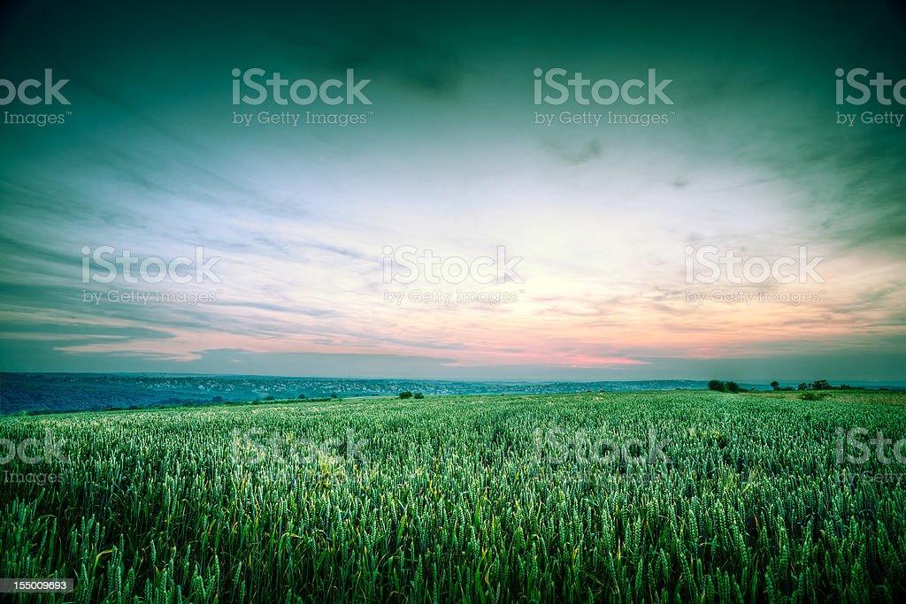 Wheat at sunset stock photo