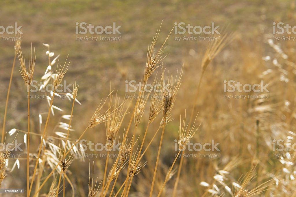 Wheat background royalty-free stock photo