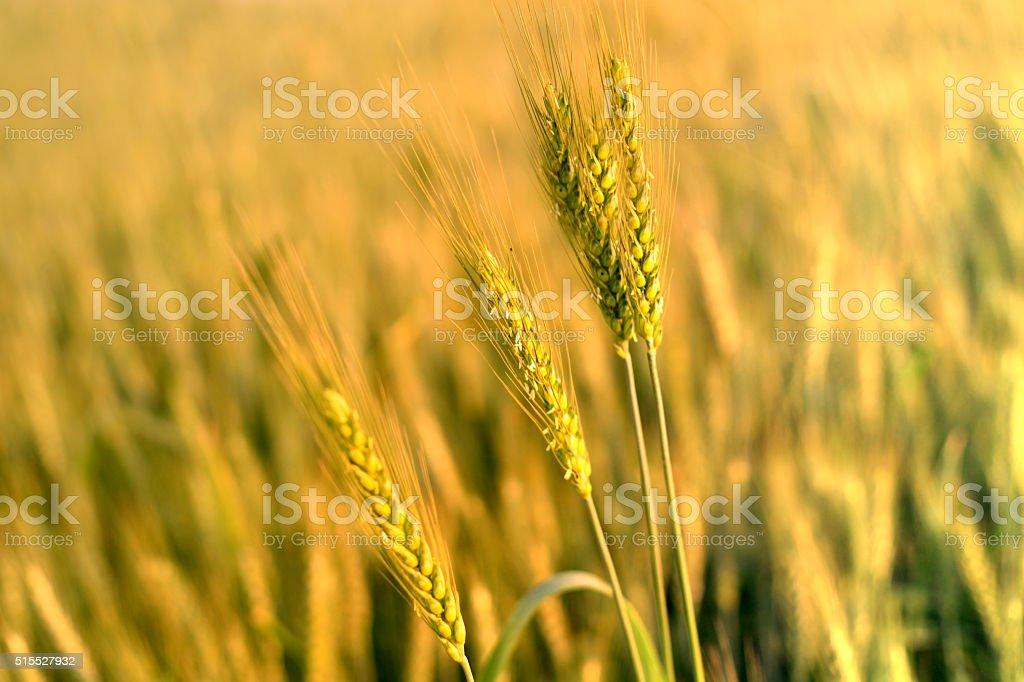 Wheat Background stock photo