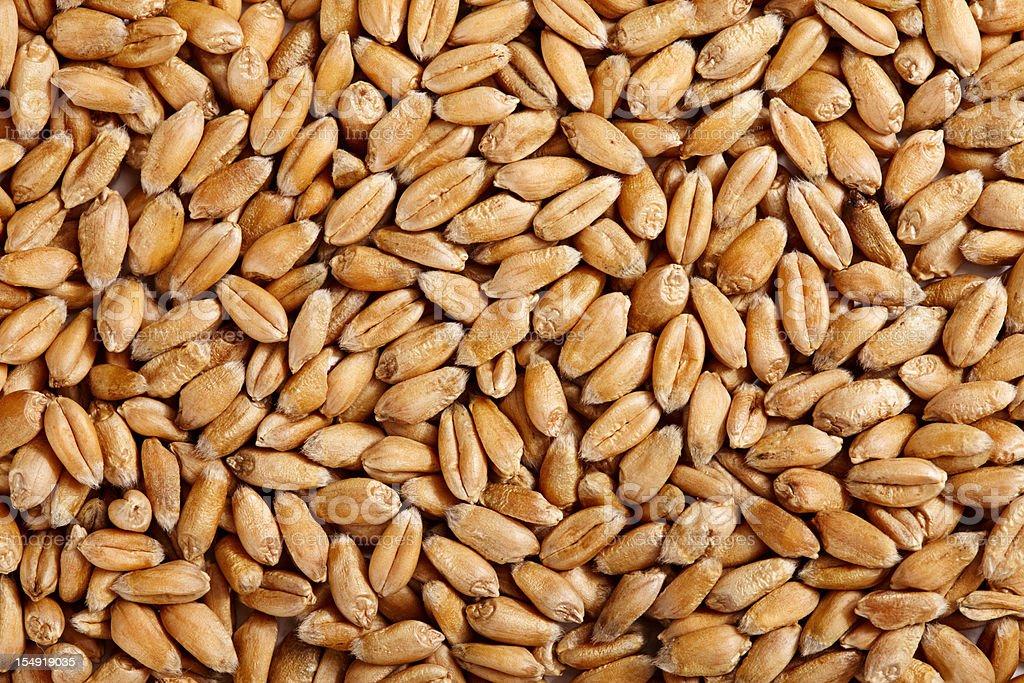 Wheat background. XXXL stock photo