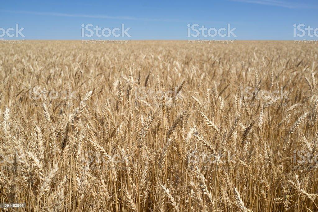 Wheat Before Harvest stock photo