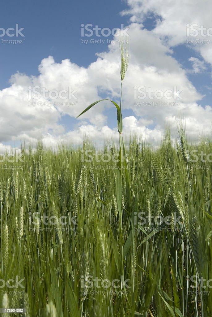 Wheat blade royalty-free stock photo