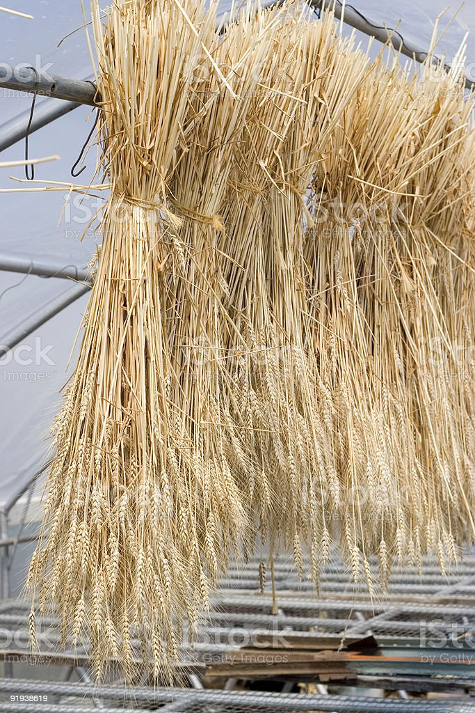 Wheat bunches (sheafs) in the sunny greenhouse stock photo