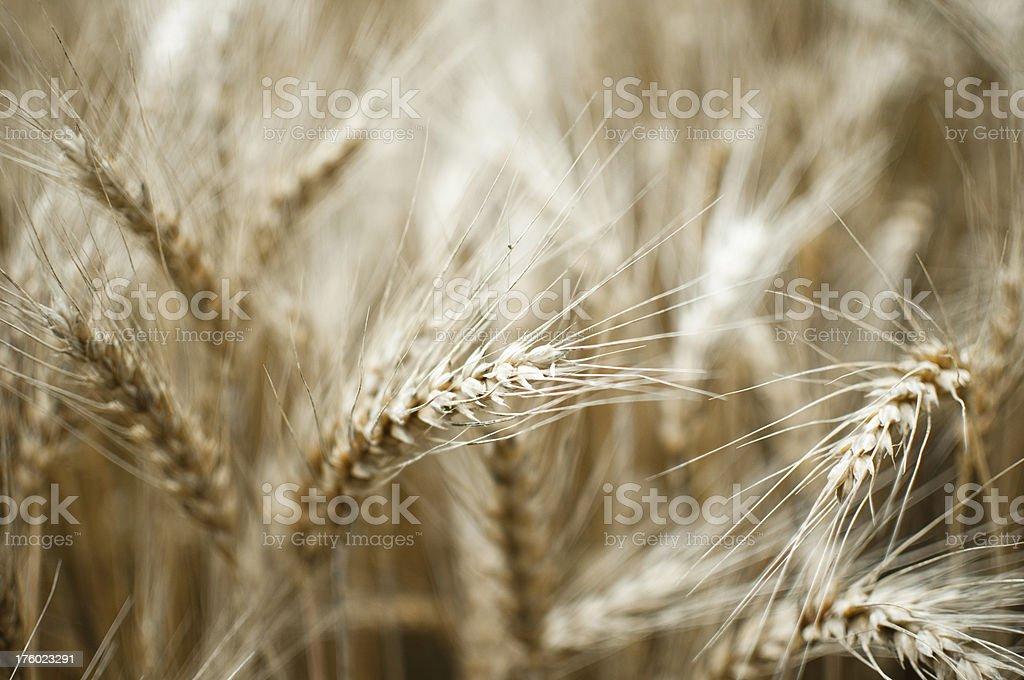 wheat close up royalty-free stock photo