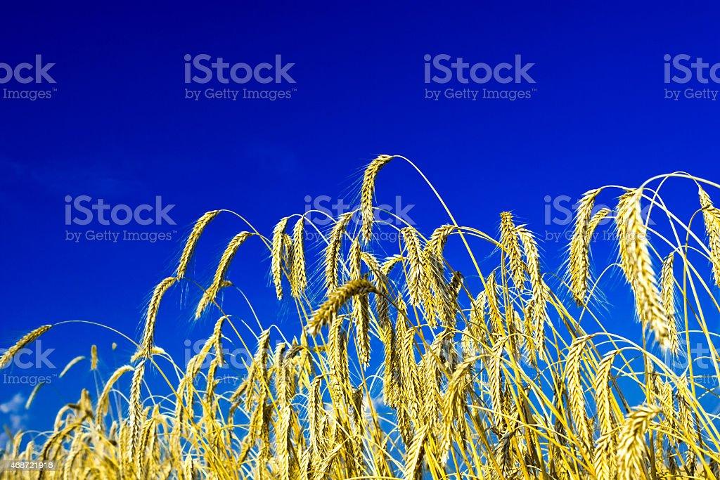 wheat close up stock photo