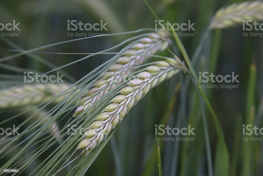 Wheat Close Up royalty-free stock photo