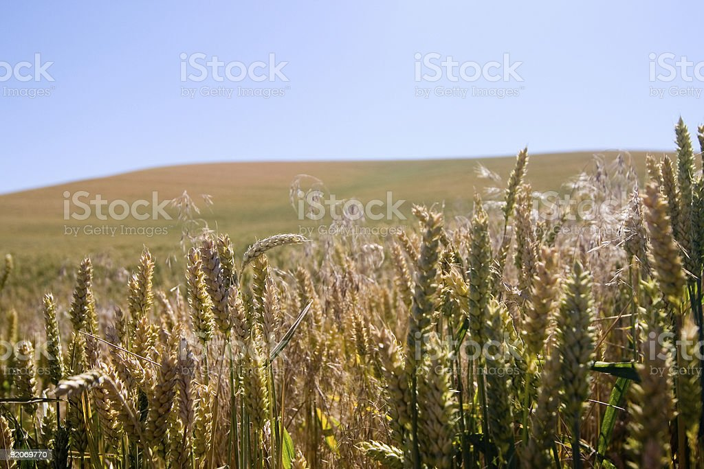 Wheat close up with field stock photo