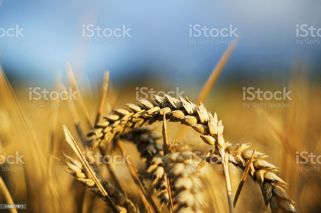 Wheat close-up royalty-free stock photo