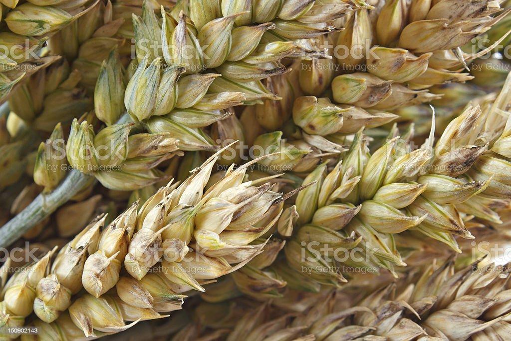 Wheat closeup royalty-free stock photo