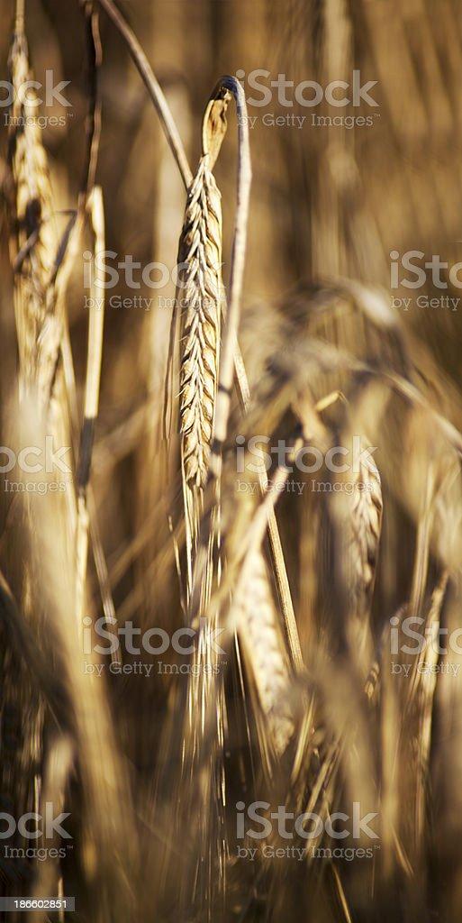 close-up di grano foto stock royalty-free