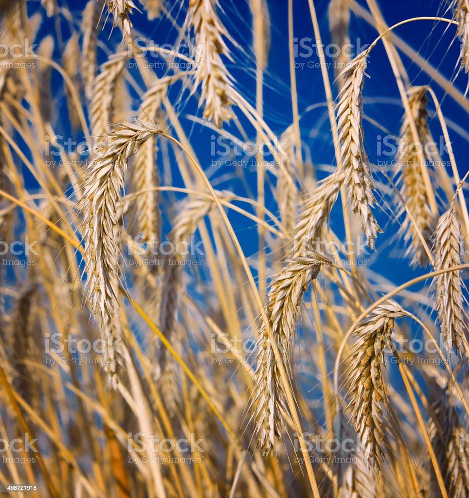wheat close-up stock photo