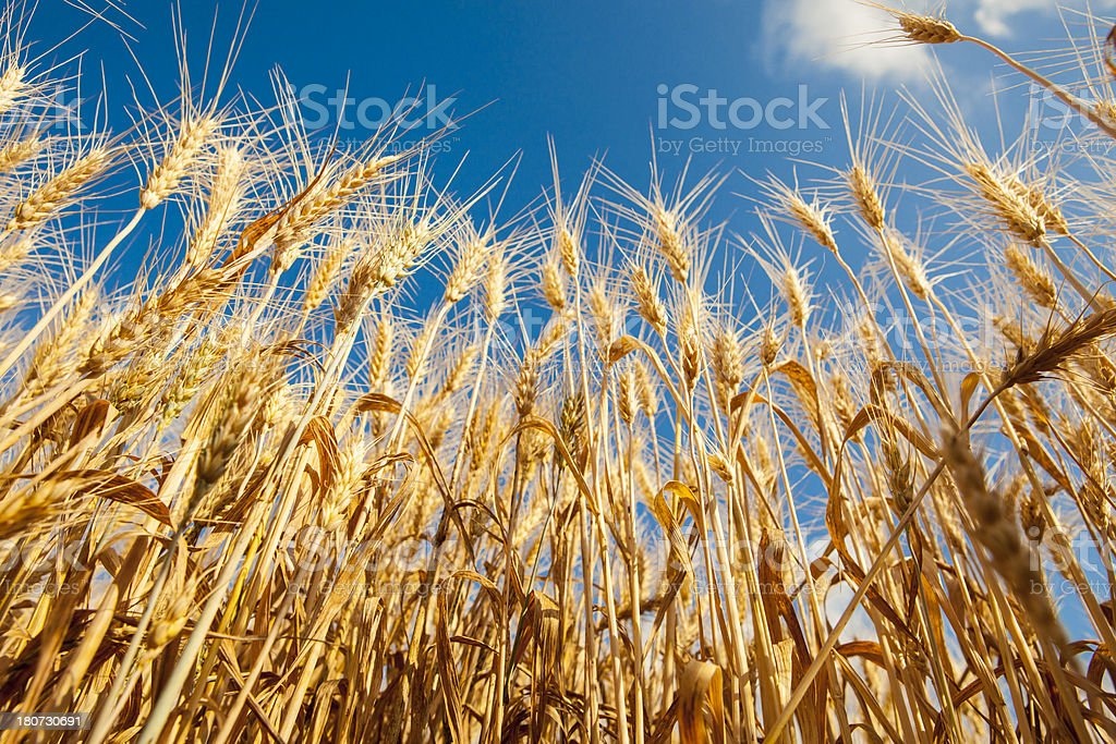 Wheat Crop. royalty-free stock photo