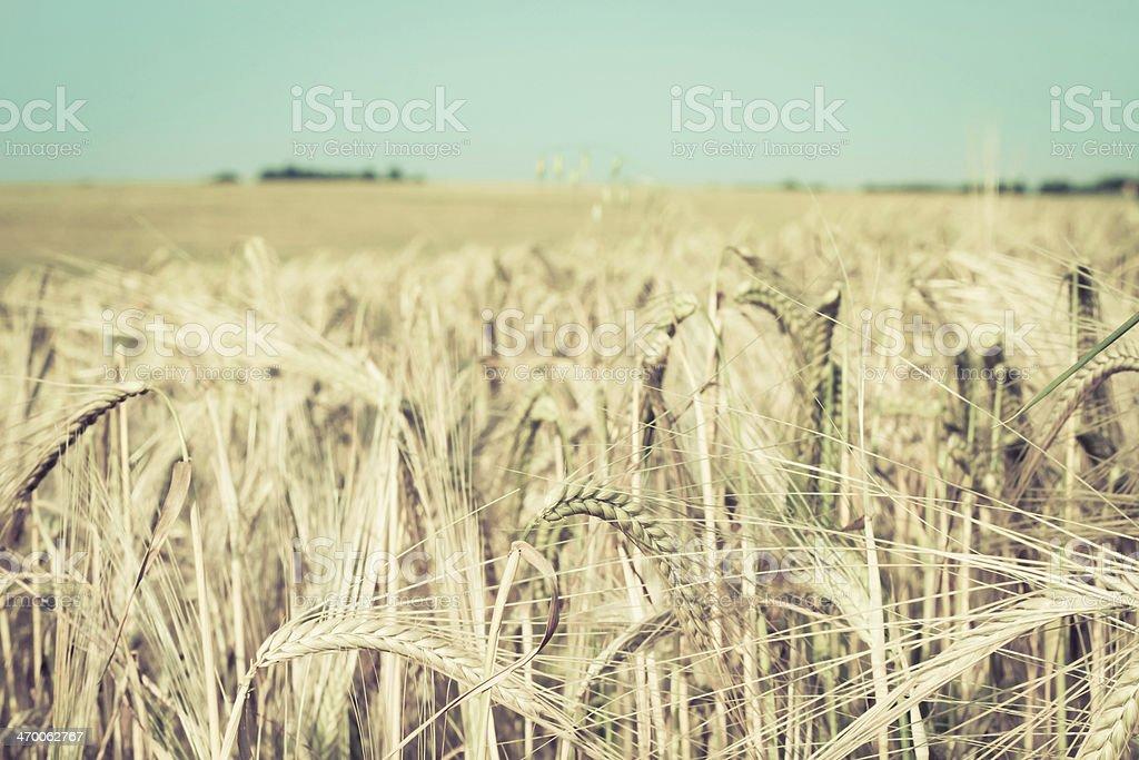 Wheat crop royalty-free stock photo