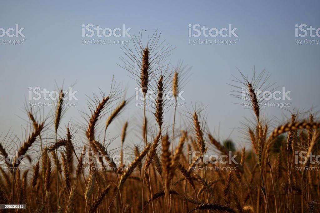 wheat crop stock photo