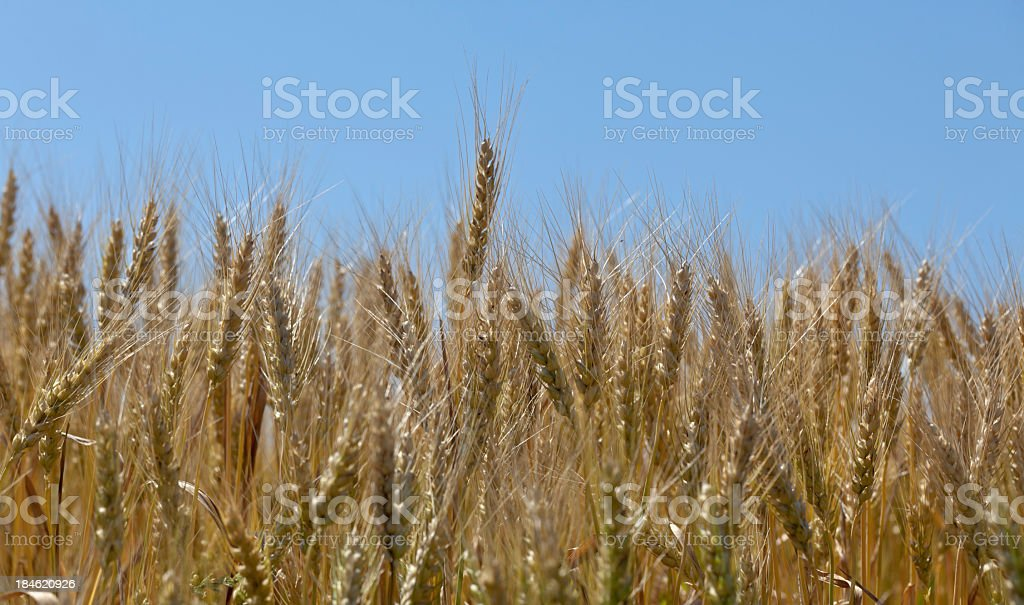Wheat Crop under Clear Blue Sky stock photo