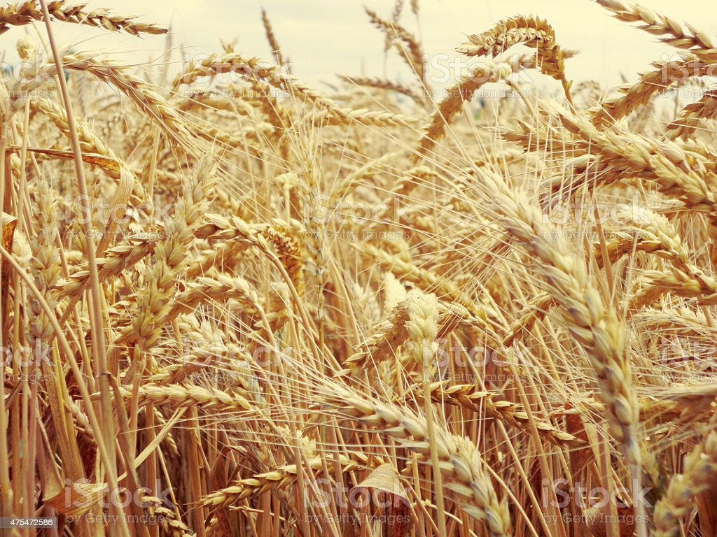 Wheat crop. Wheat field. stock photo