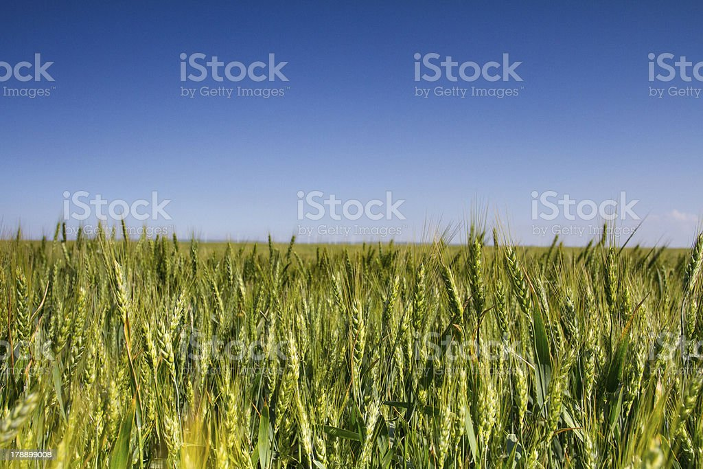 Wheat crops royalty-free stock photo