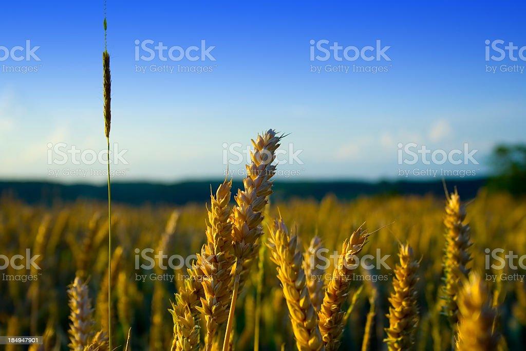 Wheat Crops stock photo