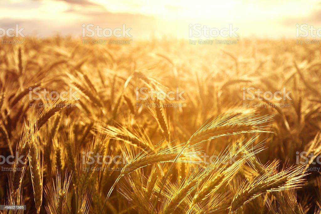 Wheat crops towards the setting sun stock photo