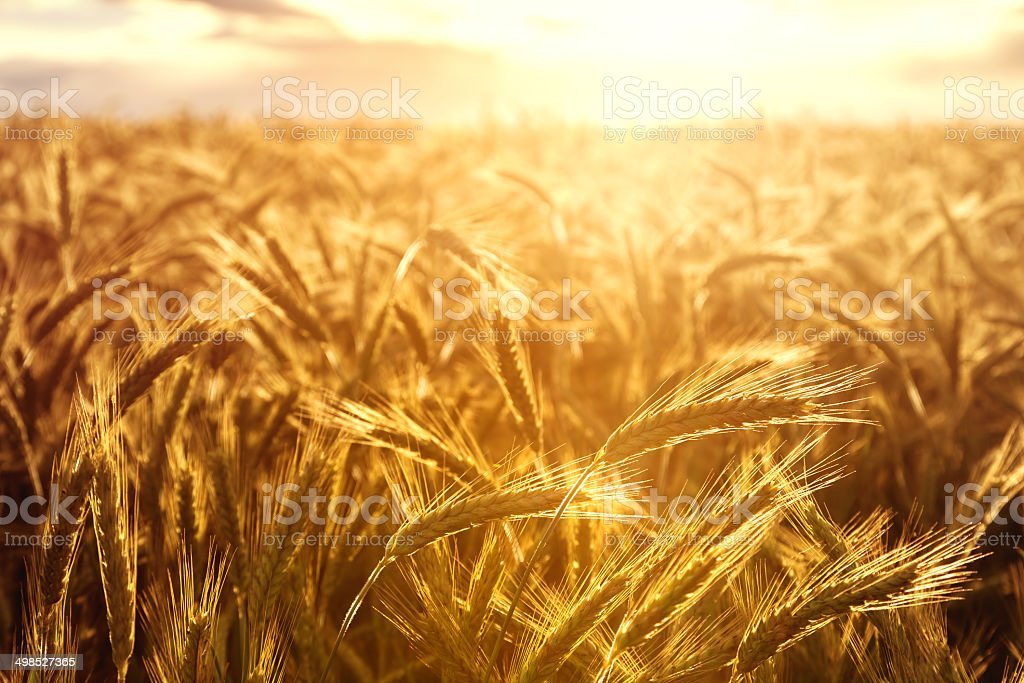 Wheat crops towards the setting sun stock photo