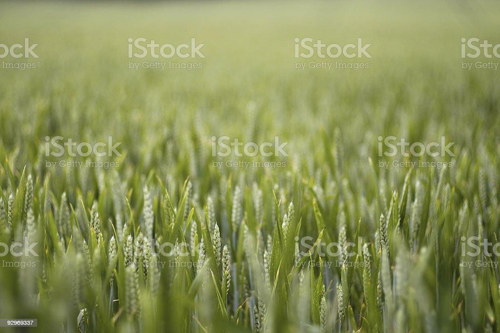 Wheat detail royalty-free stock photo