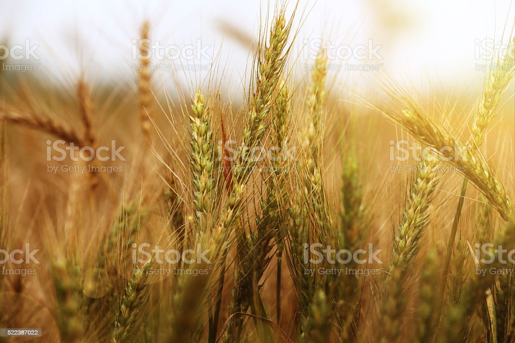 Wheat during morning time stock photo