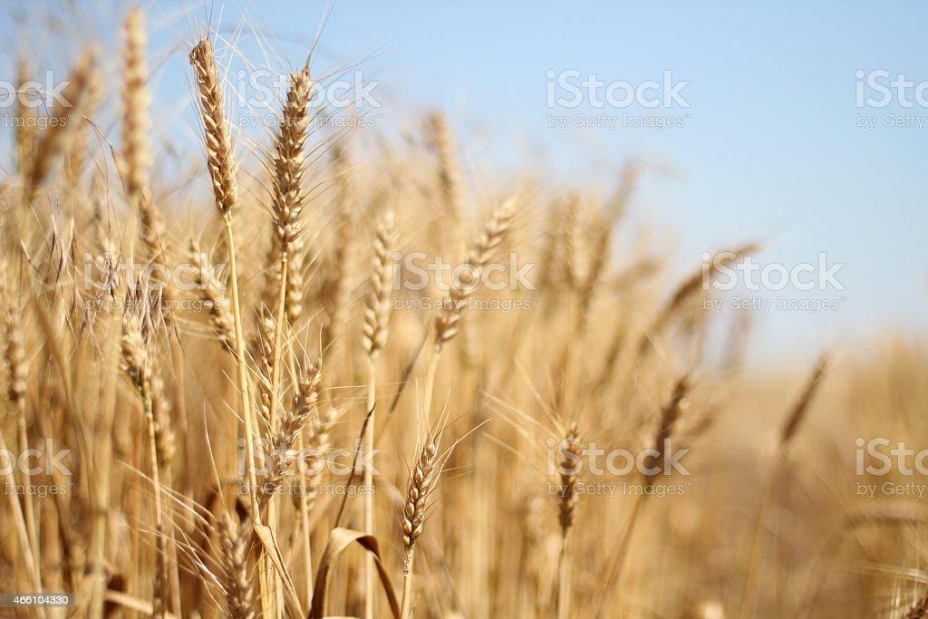 Wheat ear -close up stock photo