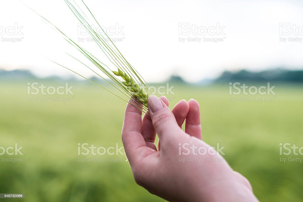 Wheat ear in her hand stock photo