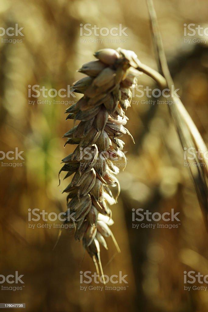 Wheat Ear In Light of Setting Sun royalty-free stock photo