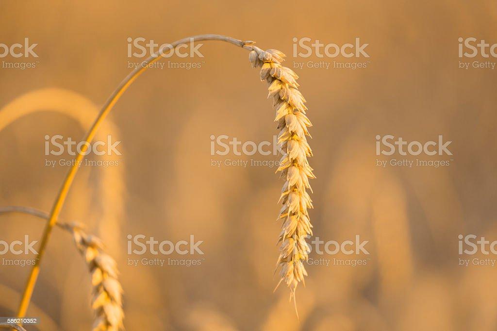 Wheat ear on field close-up stock photo