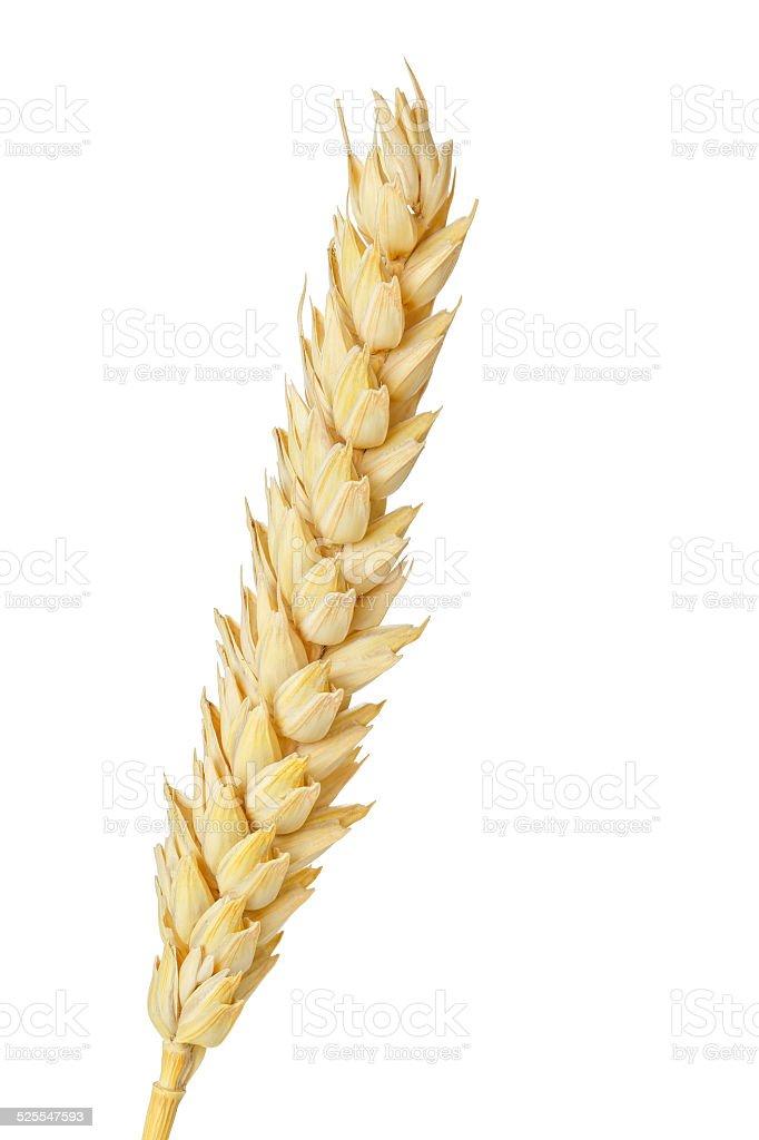 wheat ear stock photo