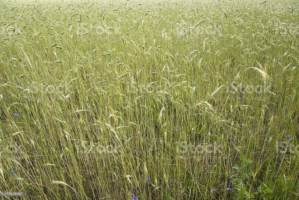 wheat ears after rain royalty-free stock photo