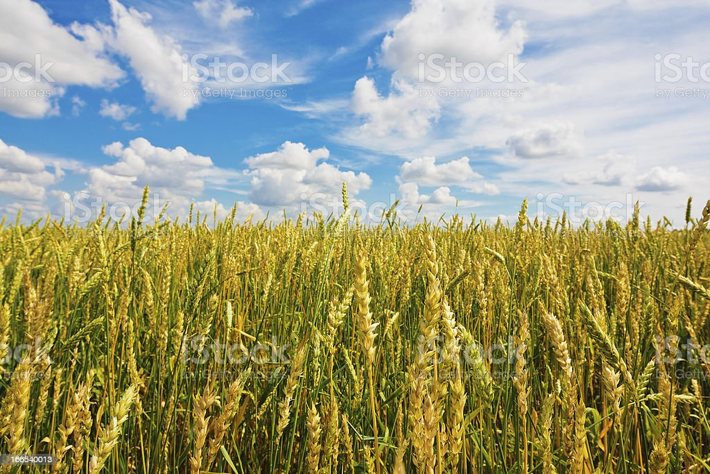 Wheat ears and cloudy sky royalty-free stock photo