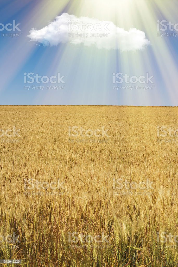 Wheat ears in bright sunshine under blue sky stock photo