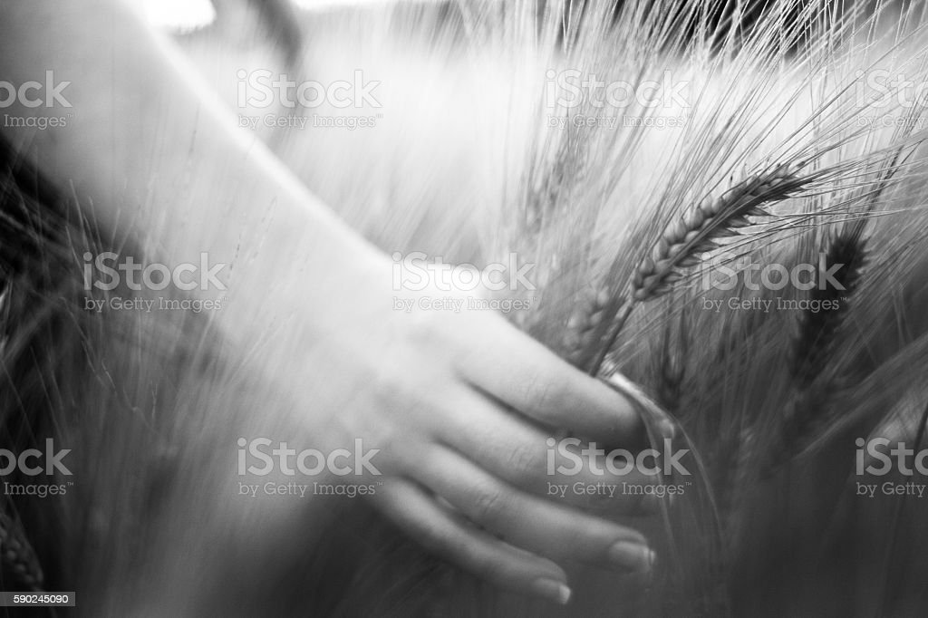 Wheat ears in the hand stock photo