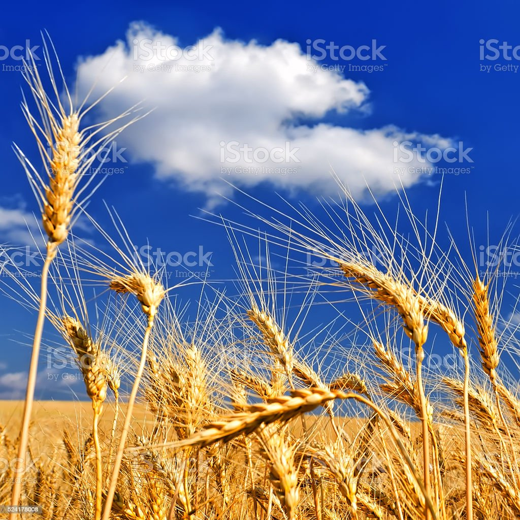 Wheat ears on the field stock photo