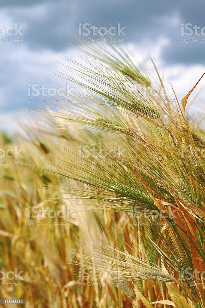 小麦耳付き ロイヤリティフリーストックフォト