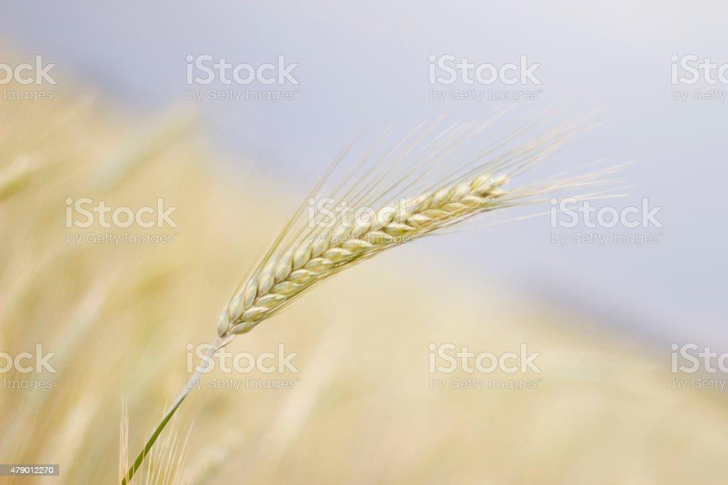 Orejas de trigo-Imagen de Stock foto de stock libre de derechos