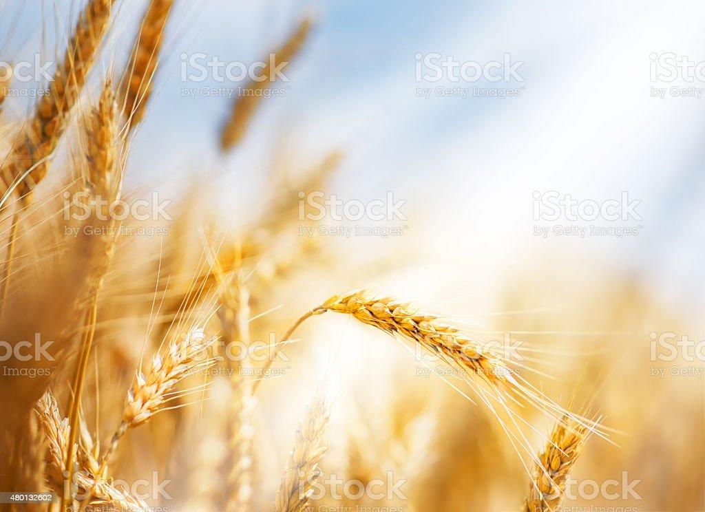 Wheat ears under sun stock photo