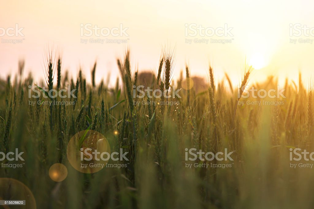Wheat farm during early morning stock photo