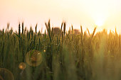 Wheat farm during early morning