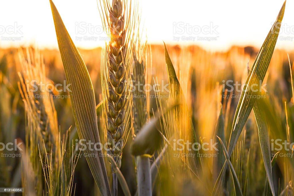 Wheat Farm Field at Golden Sunset or Sunrise stock photo