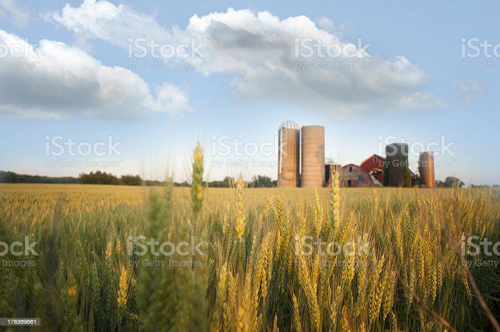 Wheat Farm stock photo