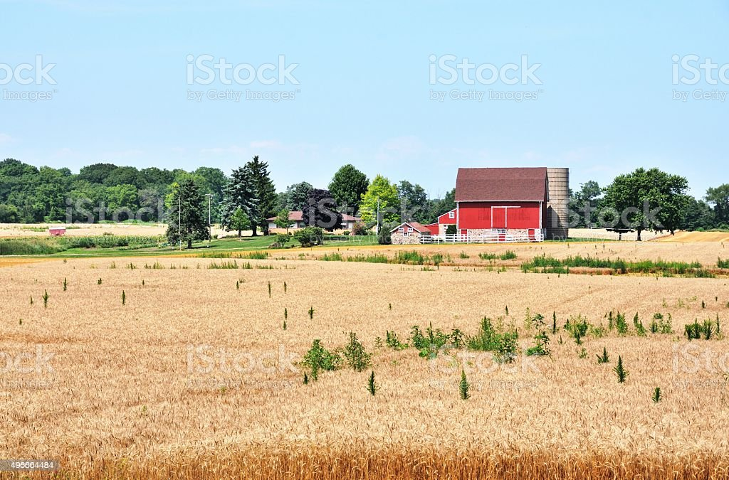 Wheat Farm stock photo