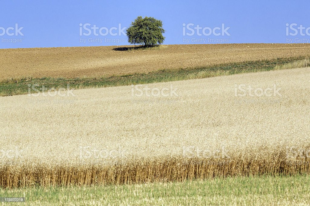 wheat fieald & tree and unplowed area royalty-free stock photo