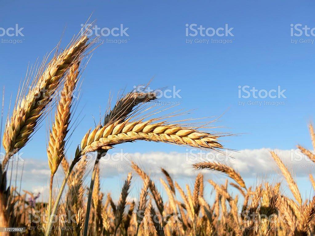 wheat field 3 royalty-free stock photo