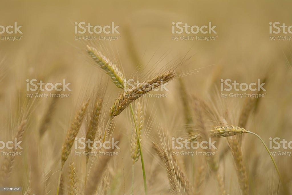 Wheat field 4 stock photo