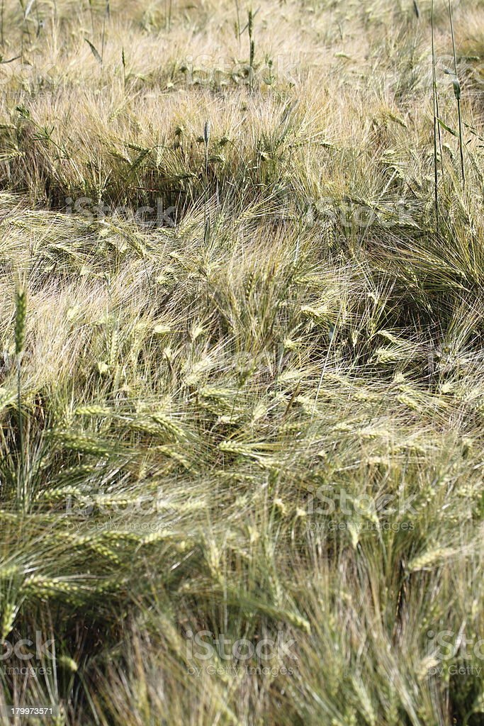 wheat field after the storm royalty-free stock photo