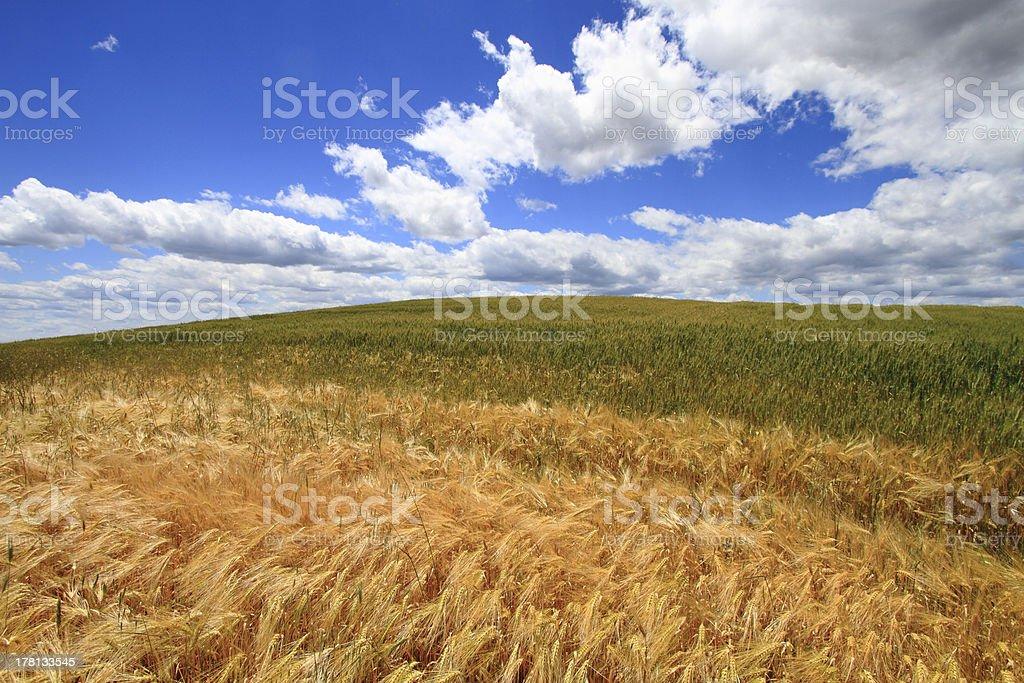 Wheat  field against deep blue sky royalty-free stock photo