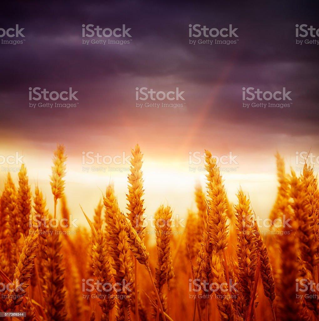 wheat field against sunset sky stock photo